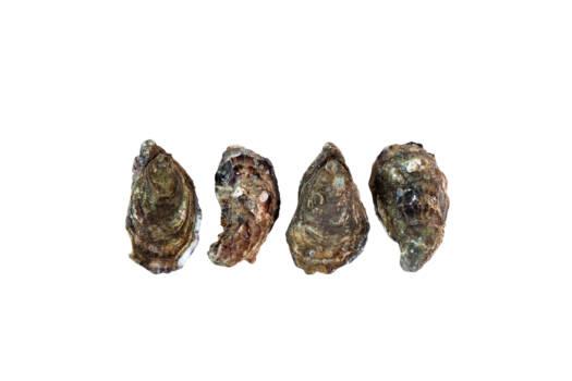 AT1205 - Irish Oysters