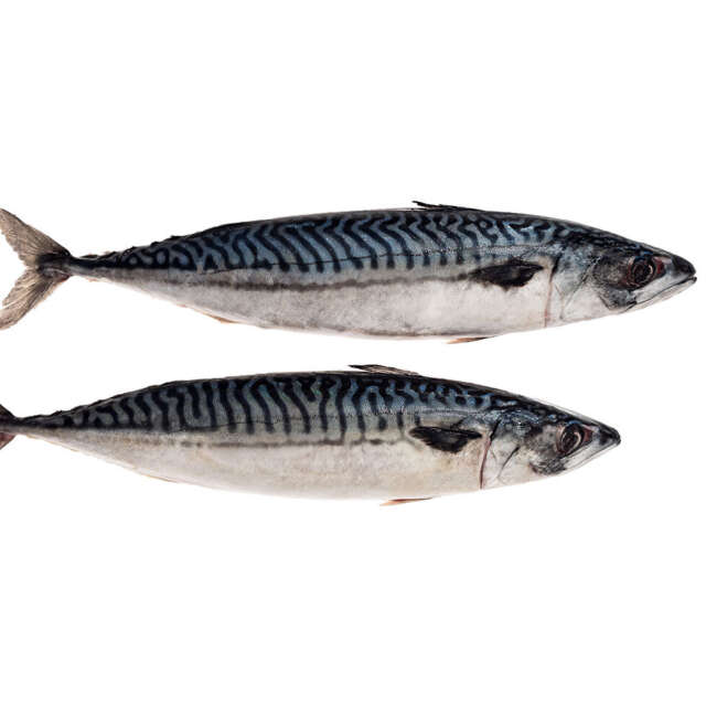Whole Fresh Wild Irish Mackerel