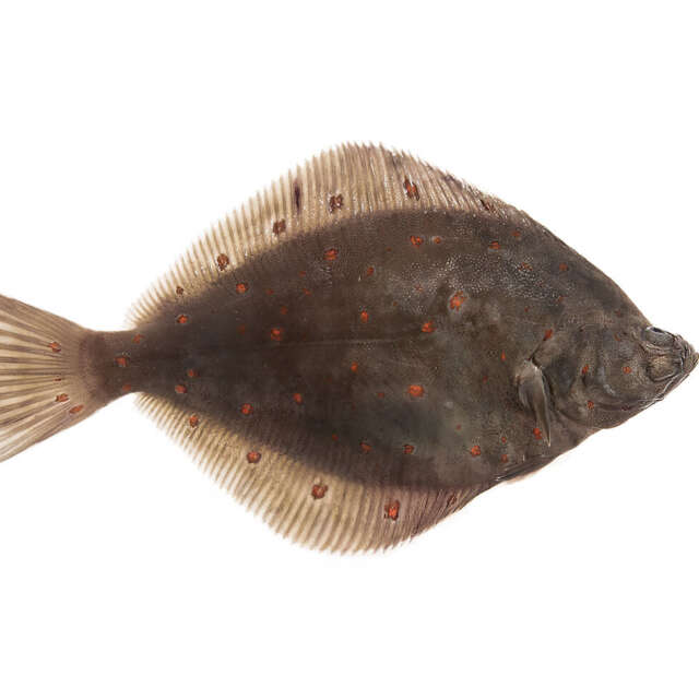 Whole Fresh Wild Irish Plaice